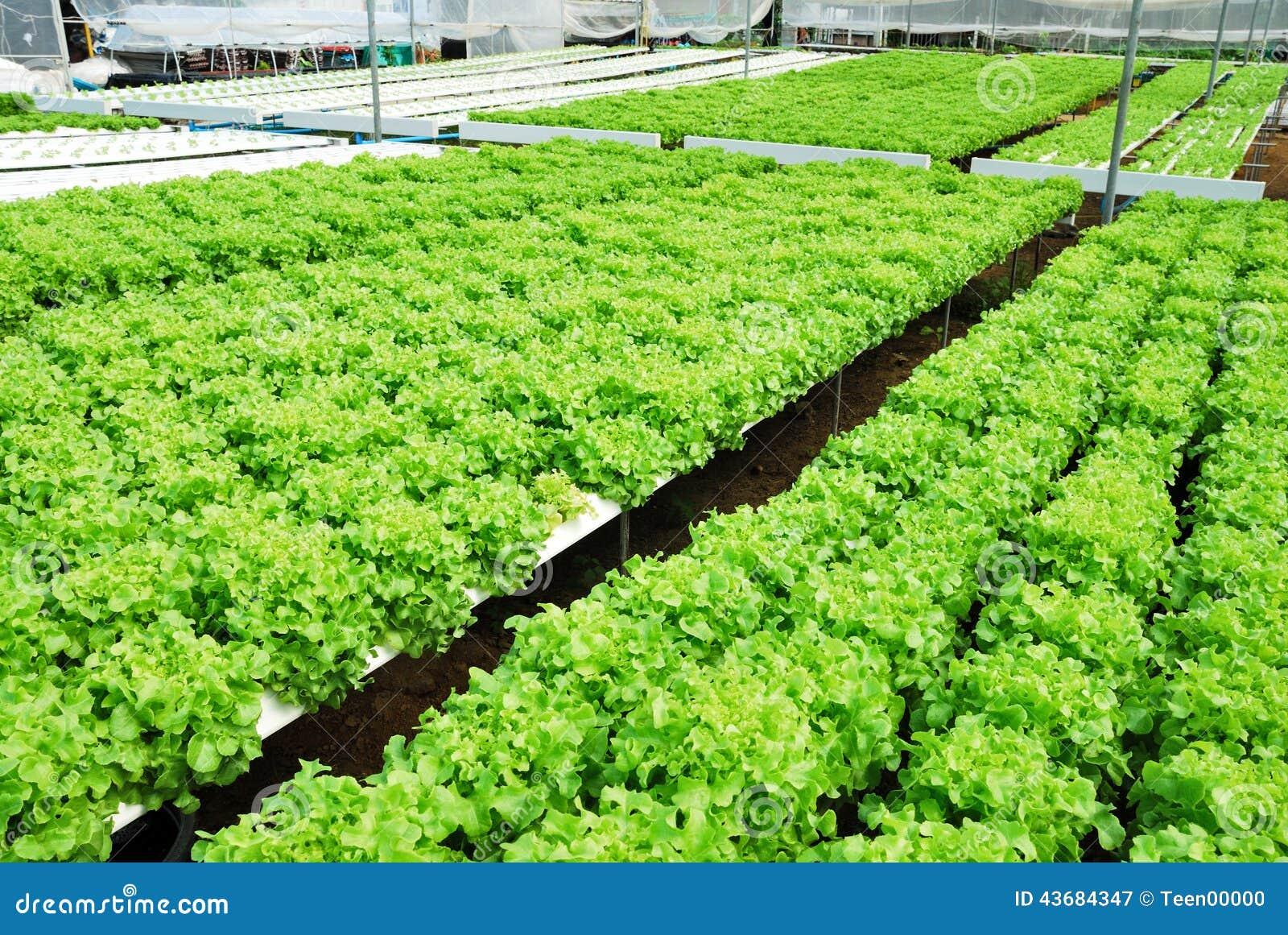 Red Oak Green Oak Cultivation Hydroponics Green