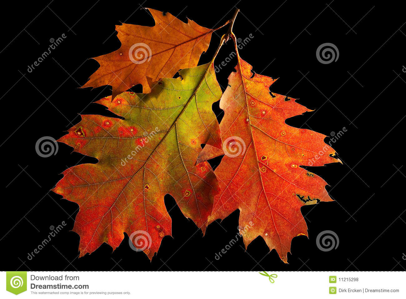 Red Oak Leaves Autumn Or Fall Colors Stock Photo Image of gold