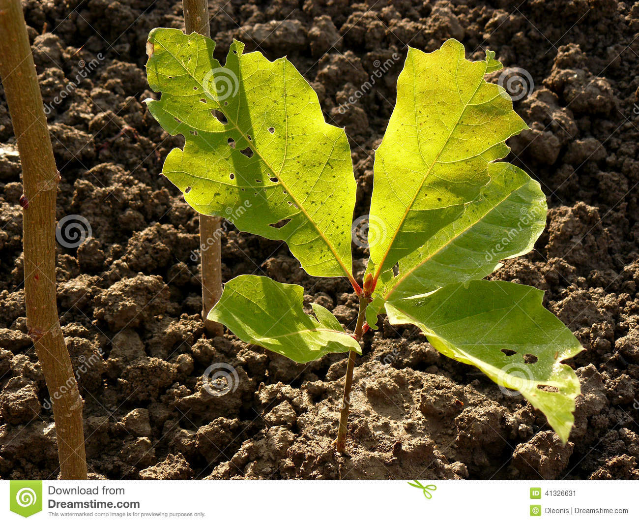 Red oak tree sapling stock image image of northern for Tree sapling