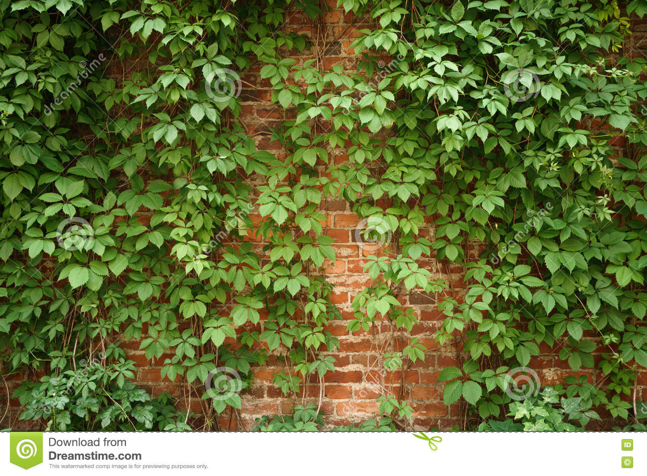 red old brick wall with climbing plants stock photo. Black Bedroom Furniture Sets. Home Design Ideas