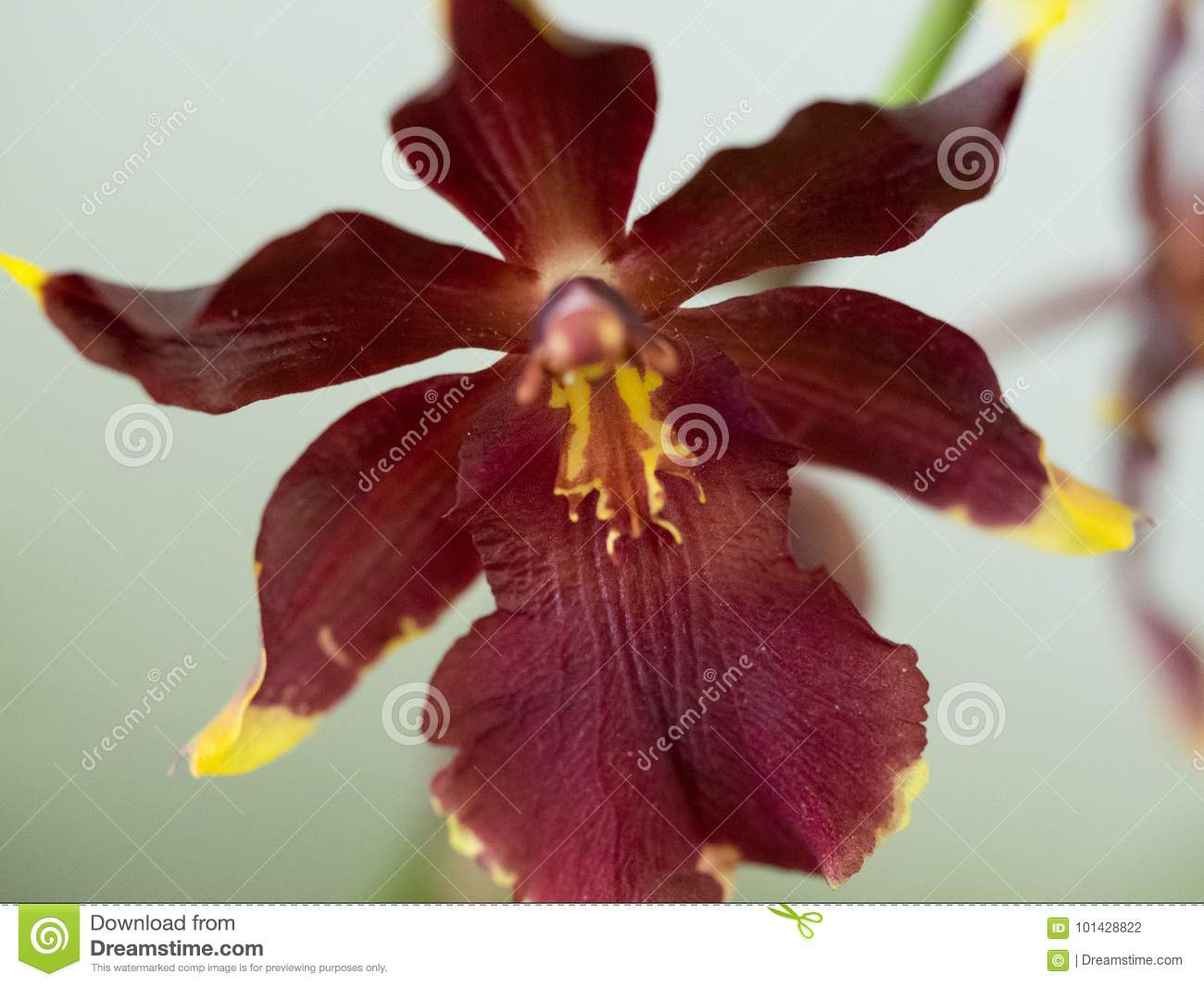 Red Oncidium Orchid Stock Photo Image Of Close Scenic 101428822