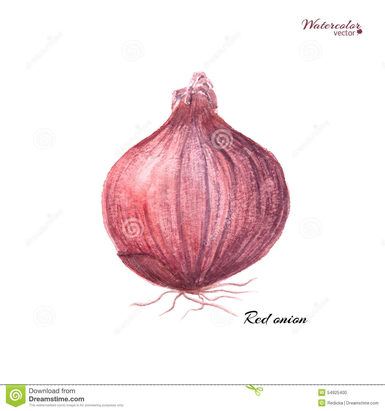 Red Onion Stock Vector - Image: 54925400