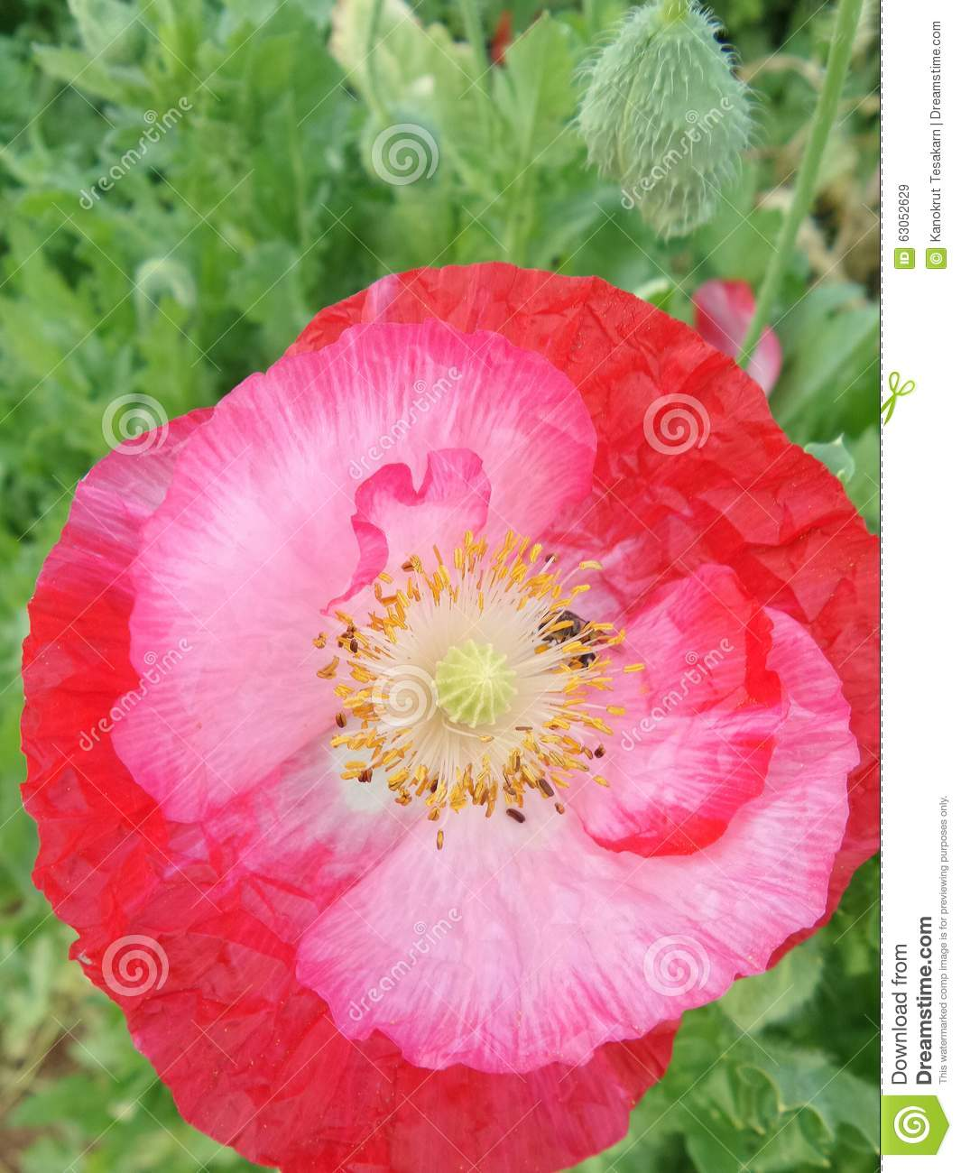 Red Opium Flowers On Green Leaves Stock Image Image Of Leaves
