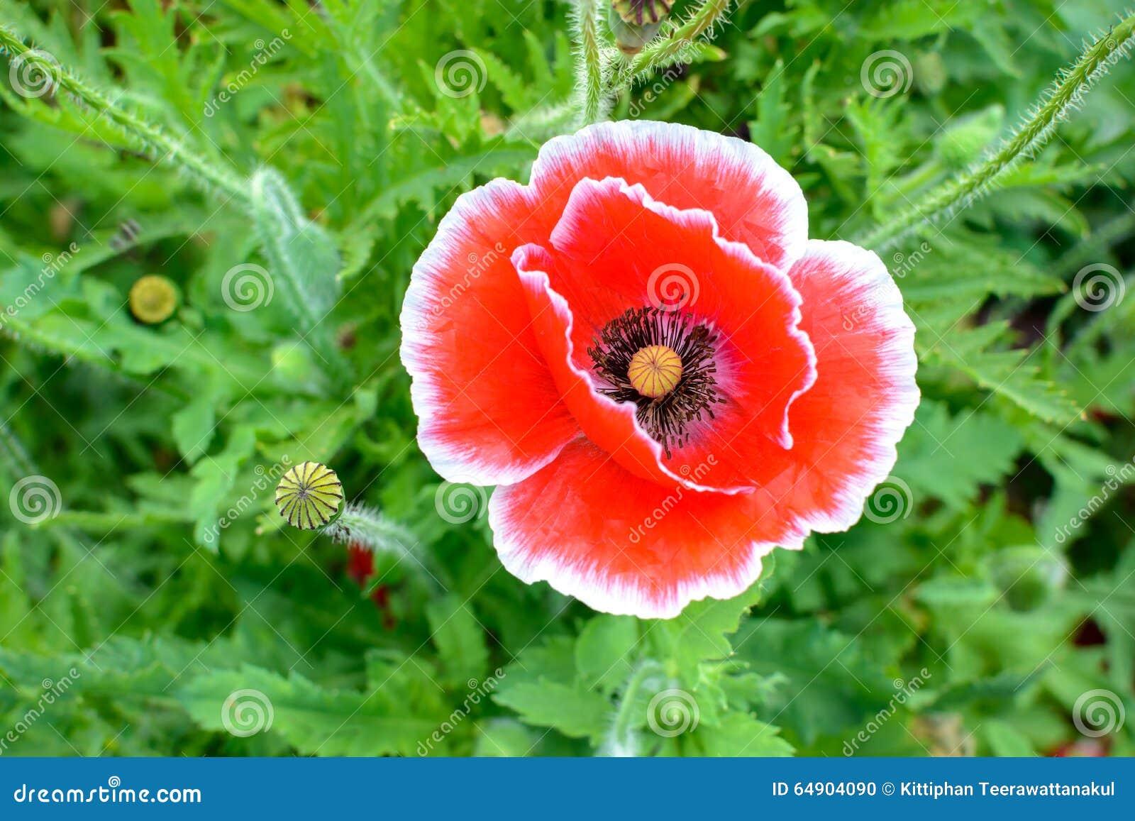 Red Opium Poppy Flower Stock Photo Image Of Nature 64904090