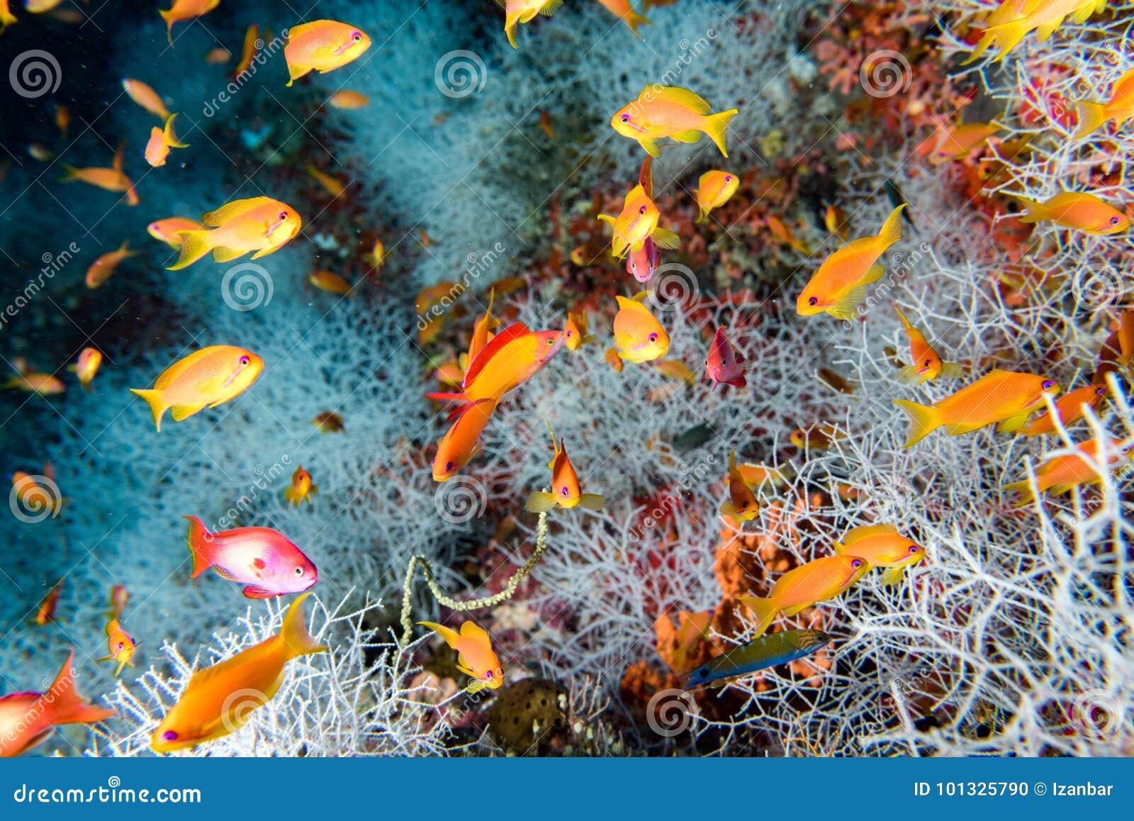 Red orange anthias while diving maldives