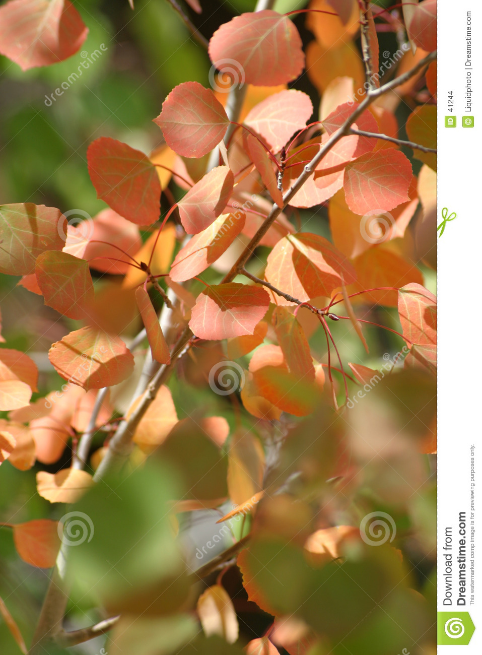 Red Orange Aspen Leaves 1