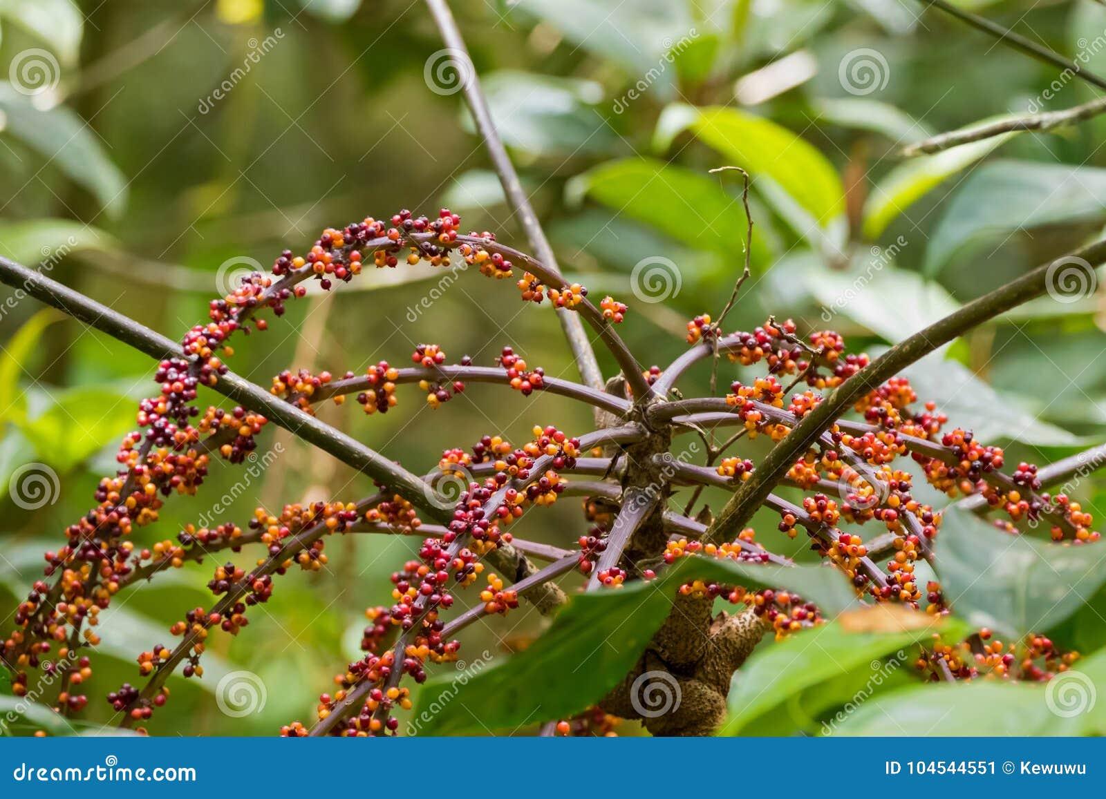 Red orange berry fruit of Schefflera bipalmatifolia Merr plant i