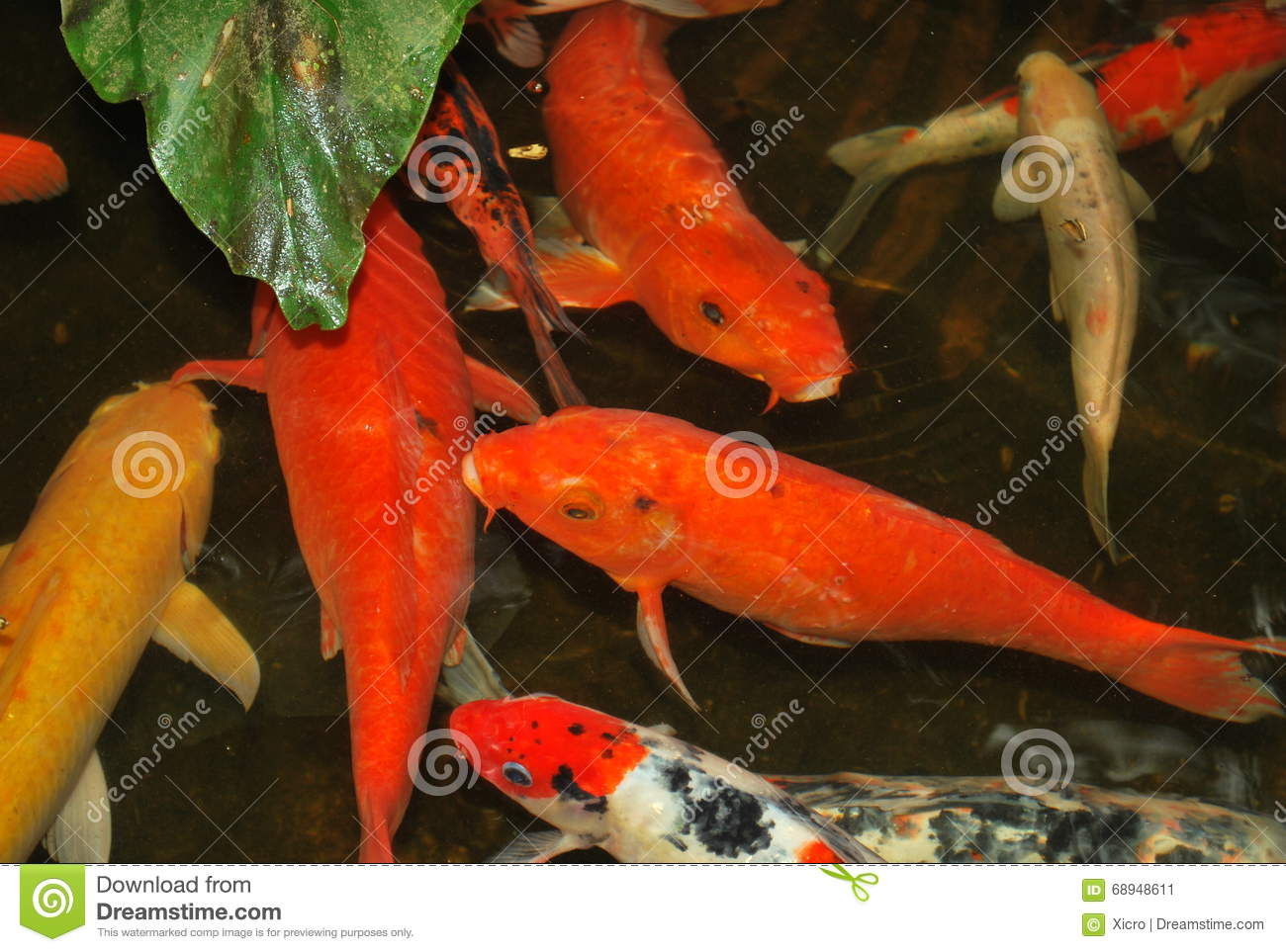 Image gallery orange koi carp for Koi fish value
