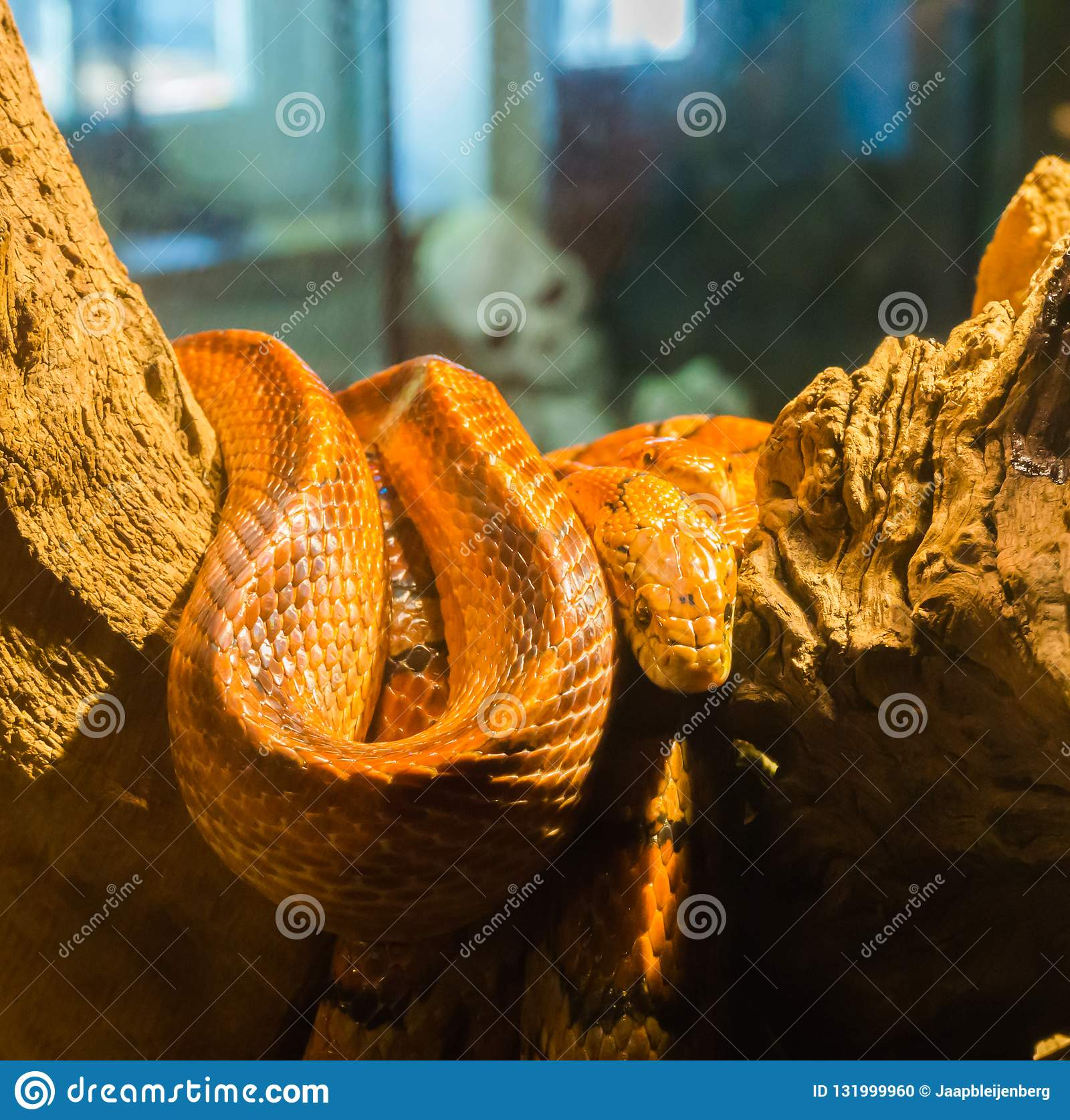 Red Orange Corn Rat Snake On A Branch In The Terrarium With A Creepy