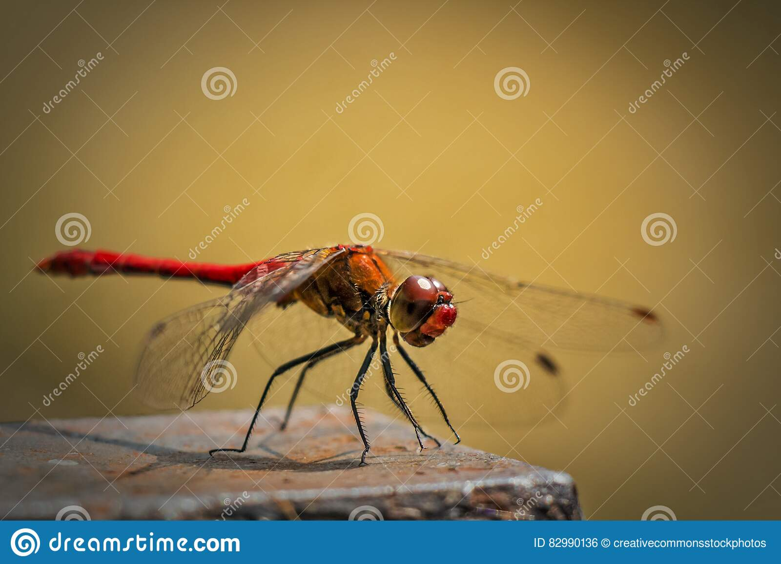 Red and Orange Dragonfly