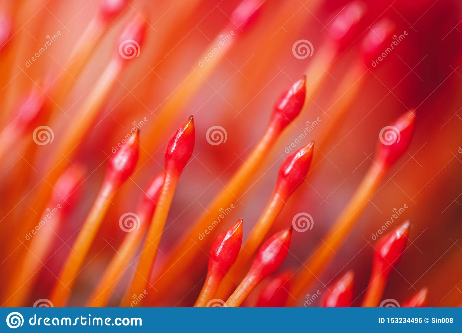 Red orange flower Pincushion Protea close-up macro. Abstract bright orange background and texture. Floral pattern