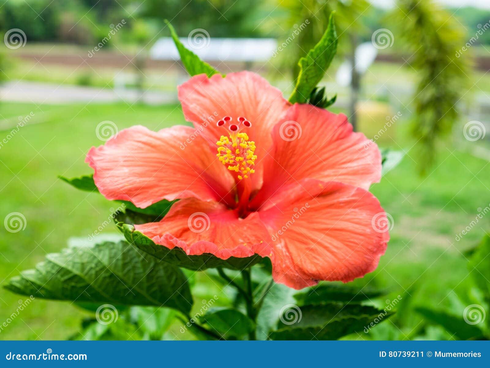 Red Orange Hibiscus China Rose Hawaiian Flower Blossom Colorful