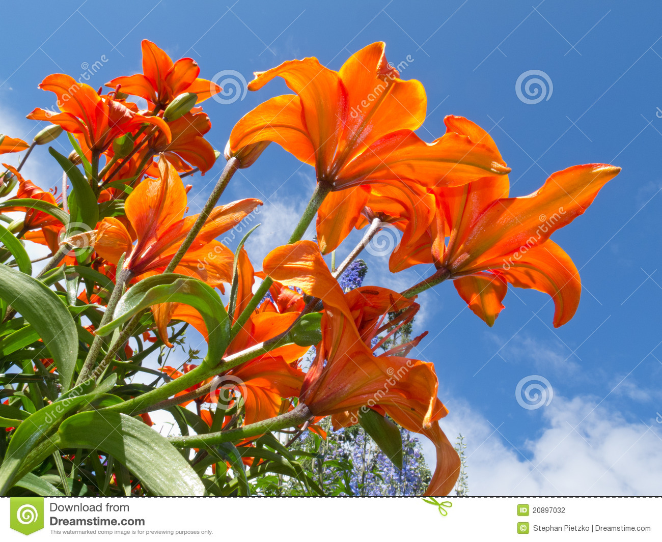 Red Orange Lily Flowers Close Up Against Blue Sky Stock Photo