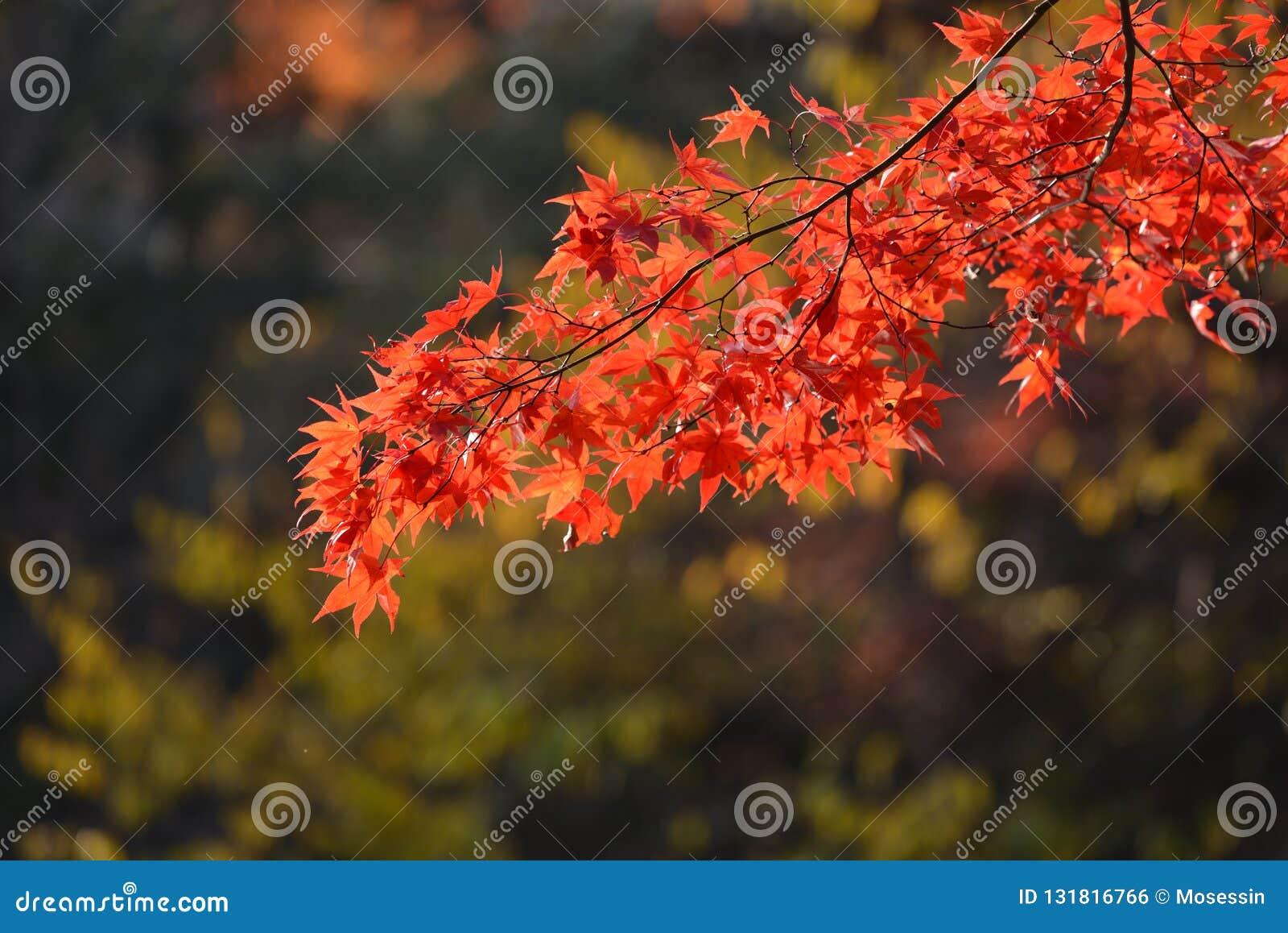 Red Orange Maple Leaf At Naejangsan Korea Stock Photo