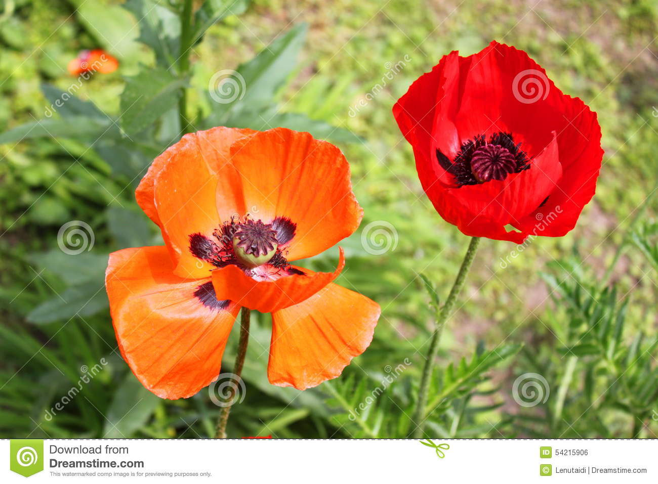 Red and orange poppy flowers stock photo image of beauty orange red and orange poppy flowers mightylinksfo