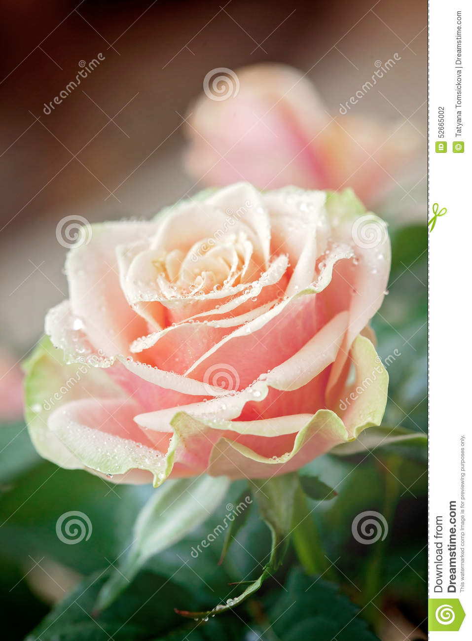 Red and orange rose flower close-up photo with shallow depth of