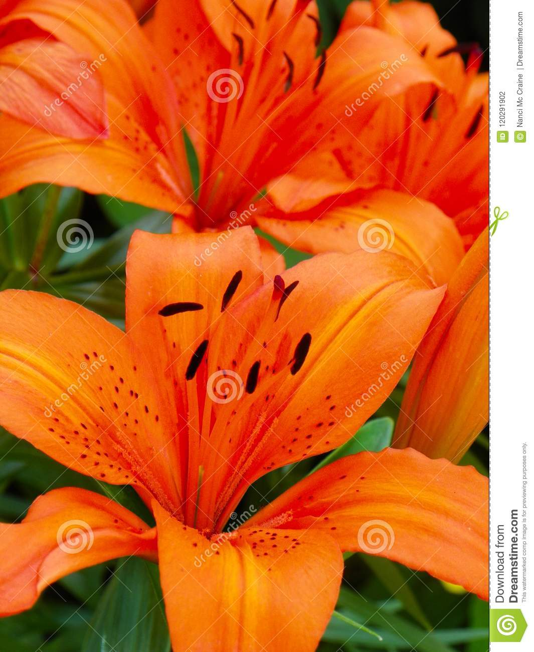 Red Orange Tiger Lily Adds Color To A Garden Stock Photo Image Of