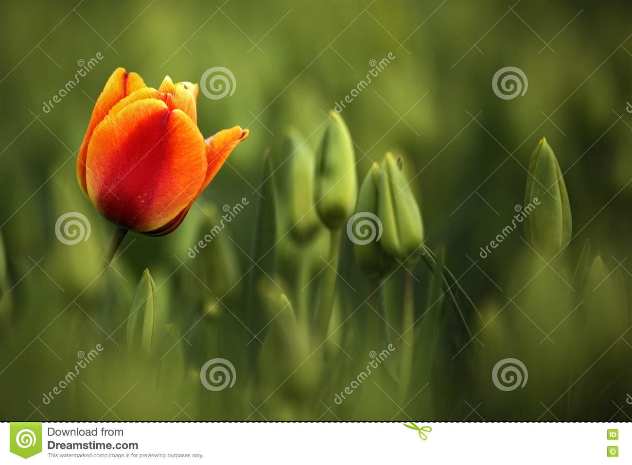 Red and orange tulip bloom, red beautiful tulips field in spring time with sunlight, floral background, garden scene, Holland, Net