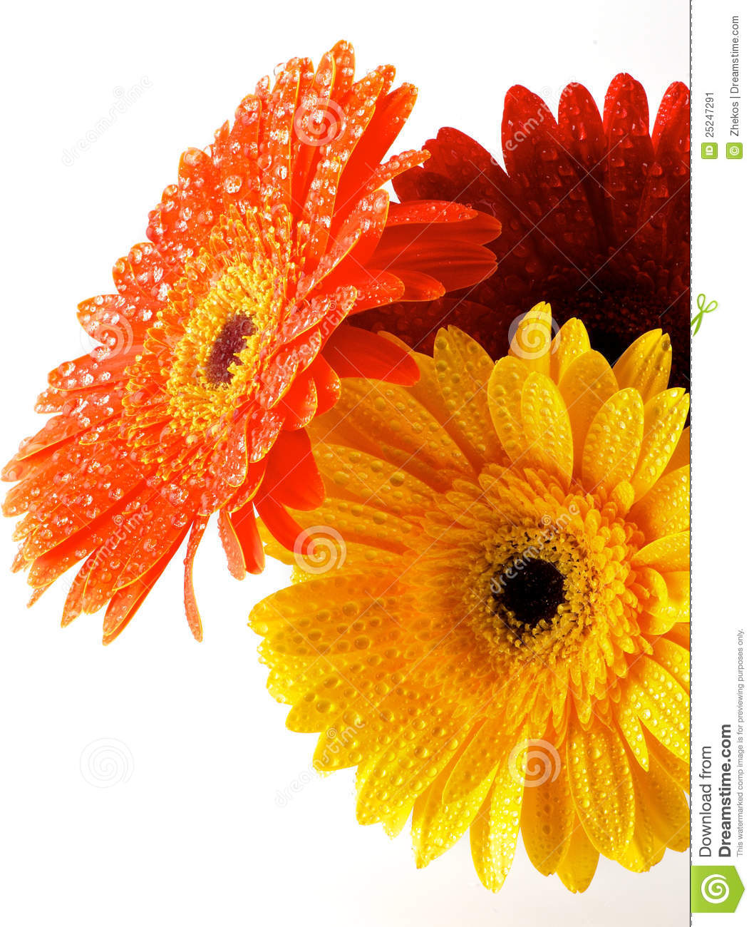 Red Orange And Yellow Gerbera Flowers Stock Image Image Of Abloom