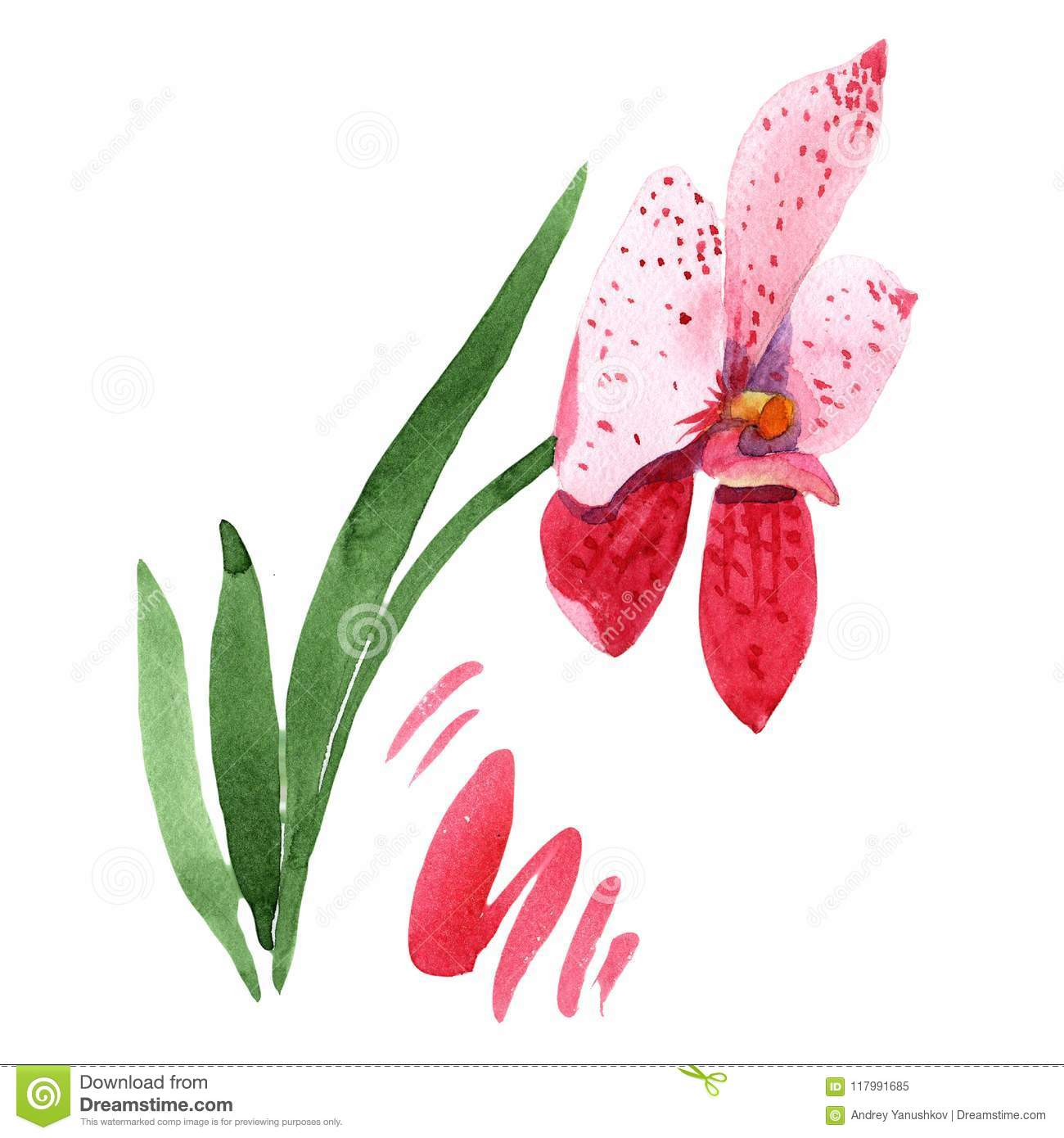 Red orchid wanda. Floral botanical flower. Wild spring leaf wildflower isolated.