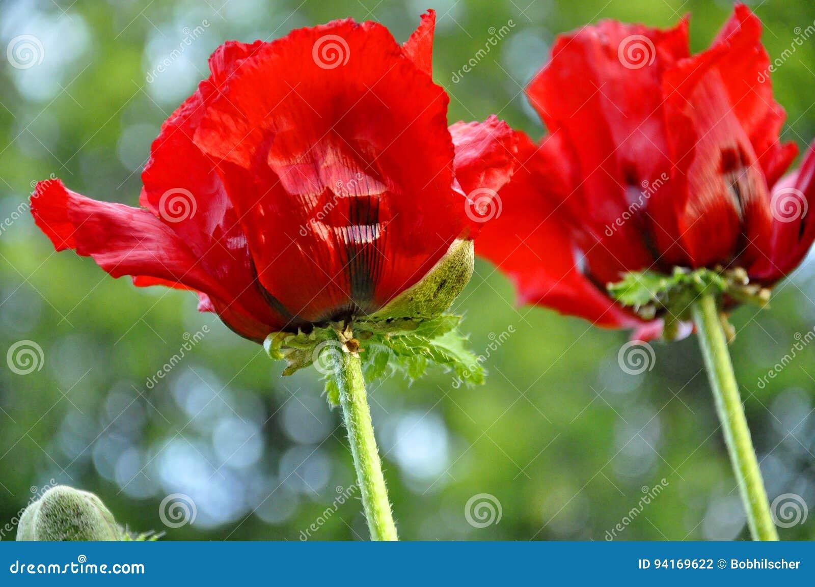 Red Oriental Poppy Flowers Stock Photo Image Of Poppy 94169622