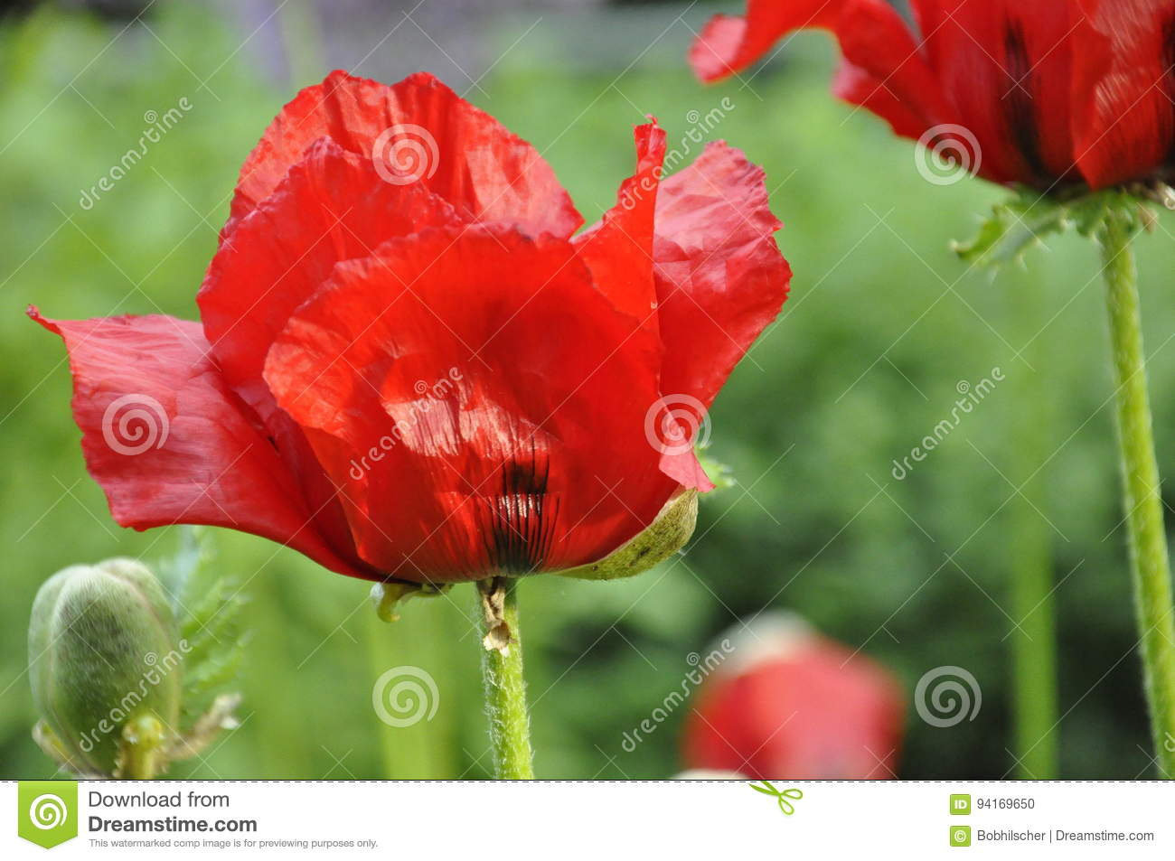 Red Oriental Poppy Flowers Stock Photo Image Of Background 94169650
