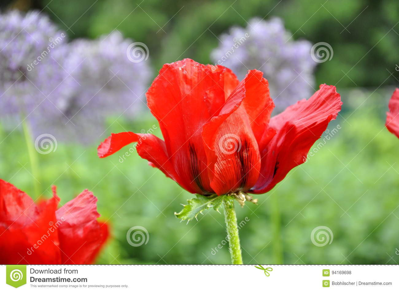 Red oriental poppy flowers stock photo image of canada 94169698 red oriental poppy flowers growing in a spring garden in ontario canada mightylinksfo