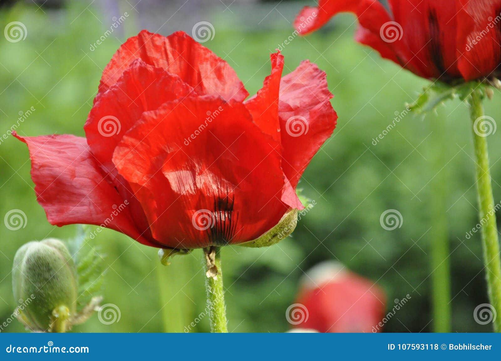Red Oriental Poppy Flowers Stock Photo Image Of Botanical 107593118