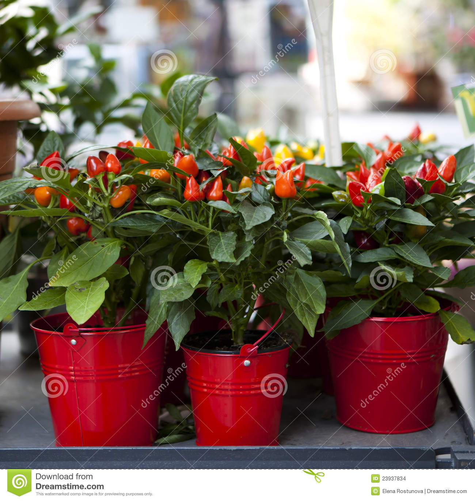 Red ornamental capsicum
