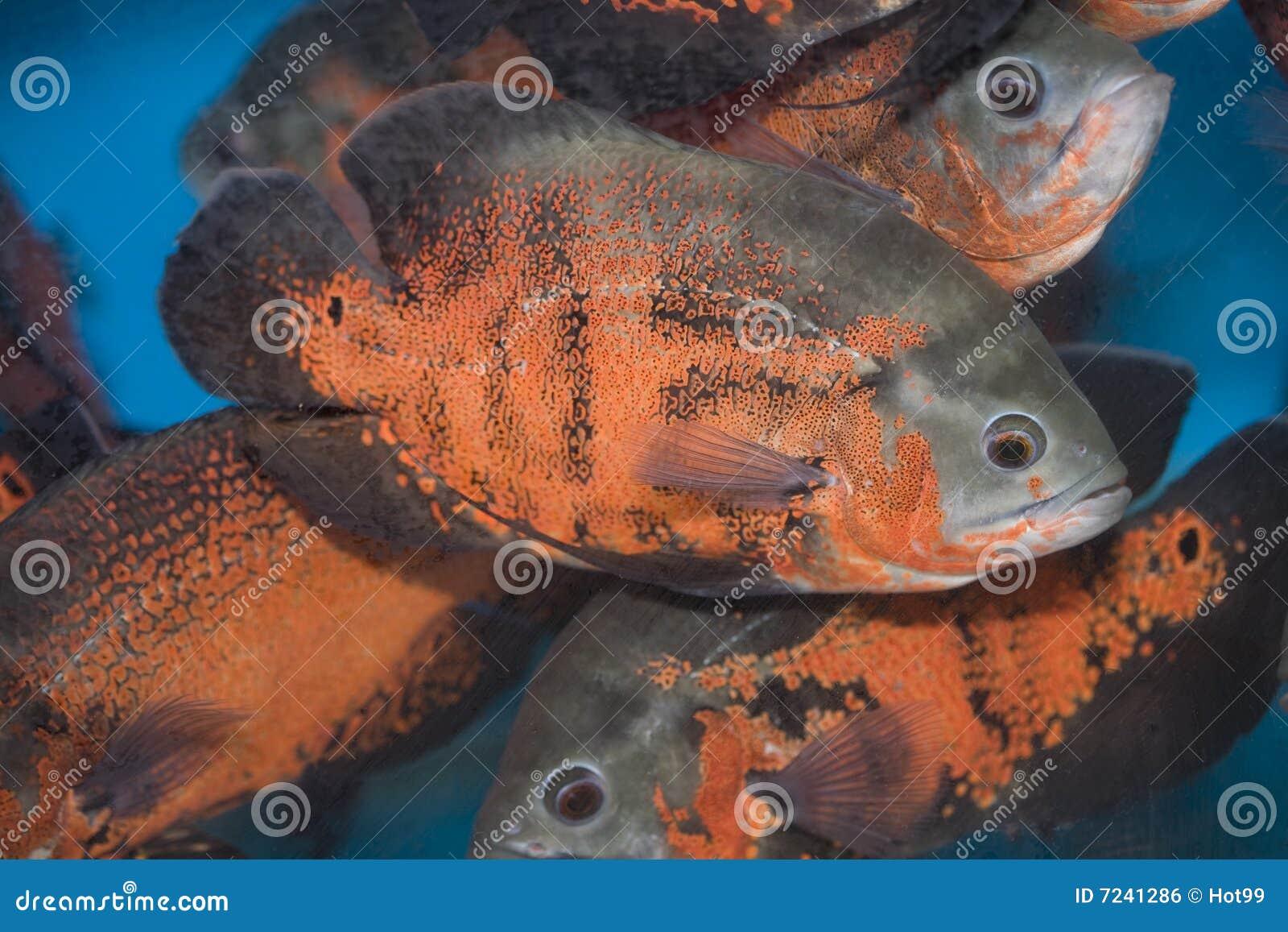 Red Oscar Fish Royalty Free Stock Image Image 7241286