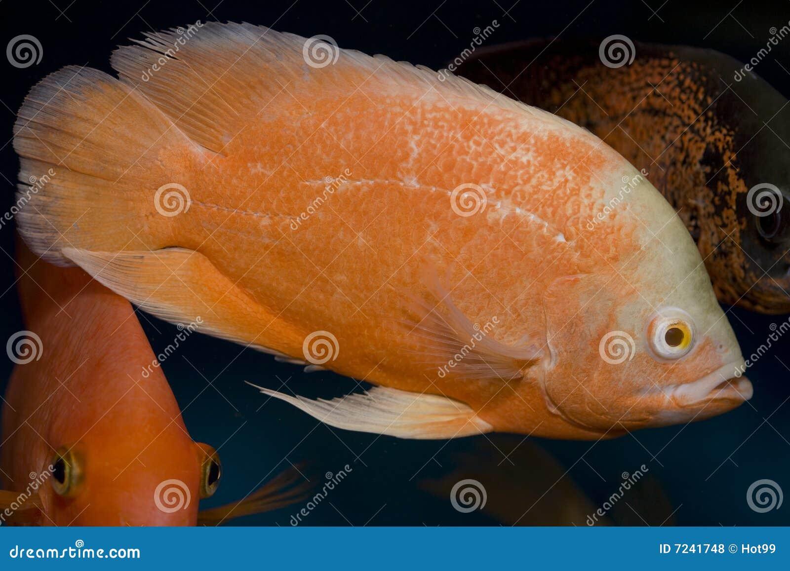 Red Oscar Fish Royalty Free Stock Photos Image 7241748