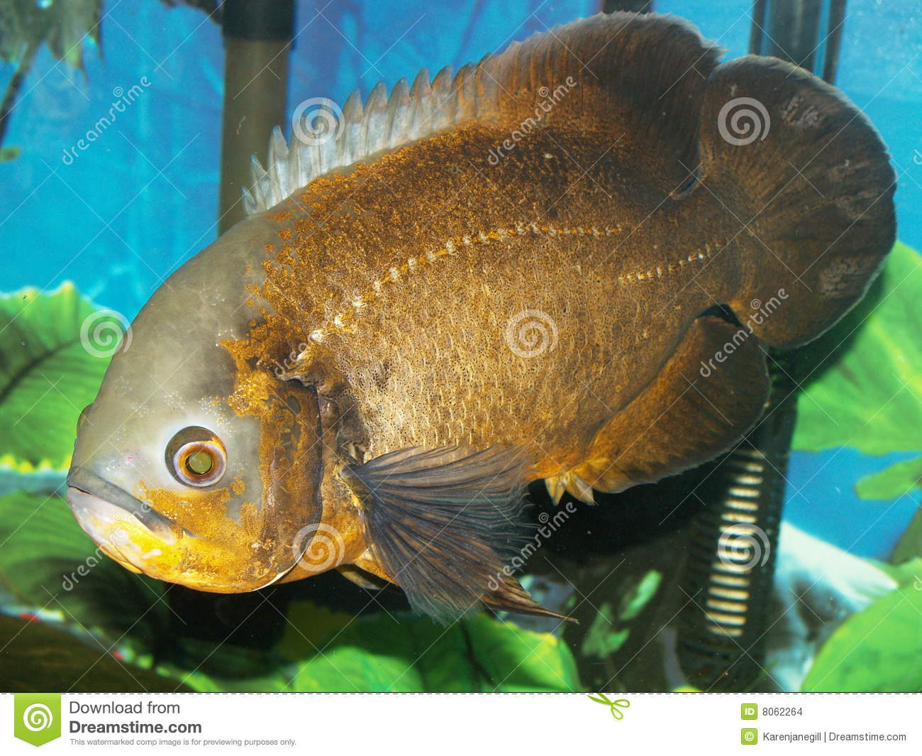 Red Oscar Fish Stock Images Image 8062264