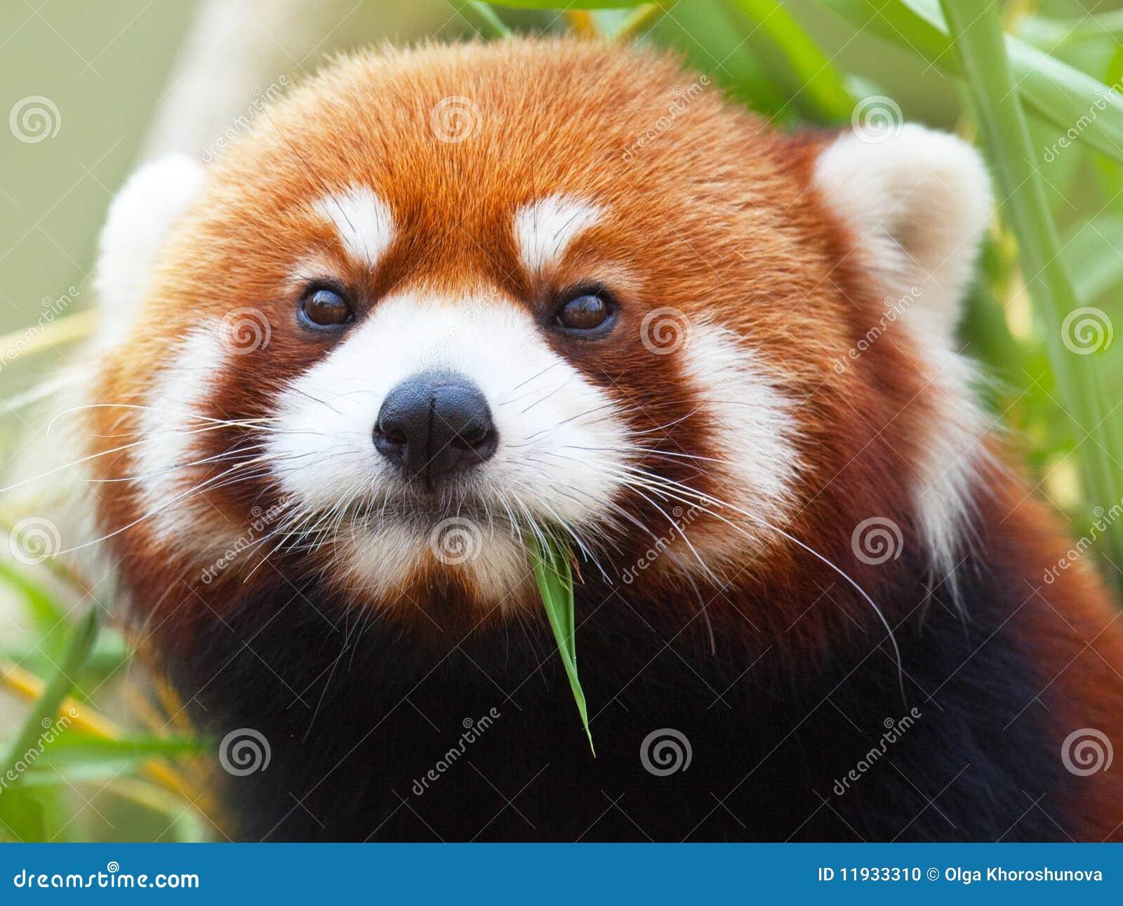 Red Panda Stock Photo. Image Of Ailurus, Firefox, Animals