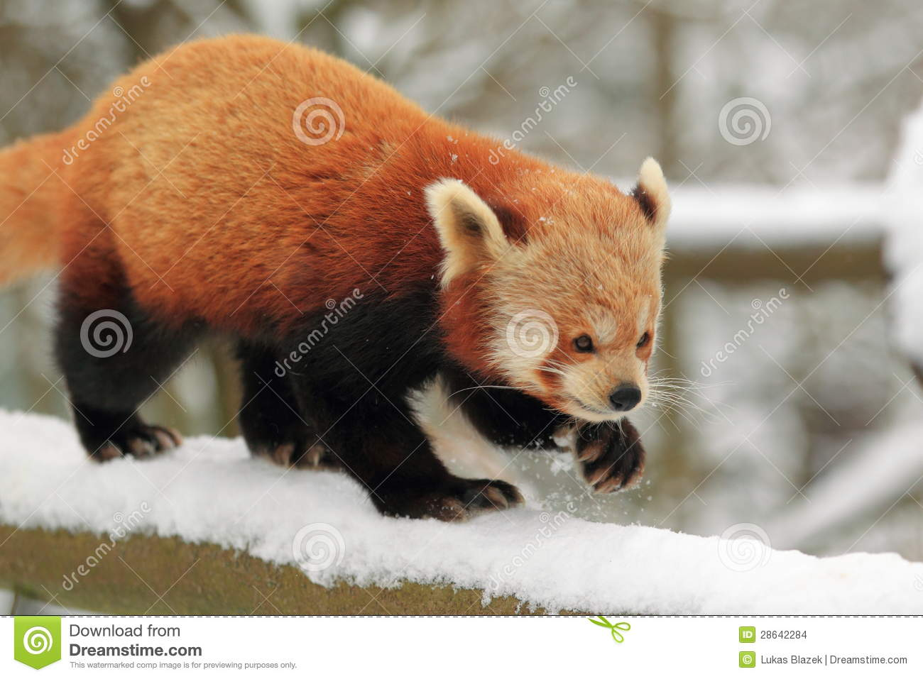 Duck Billed Platypus Swimming Red Panda Stock Images...