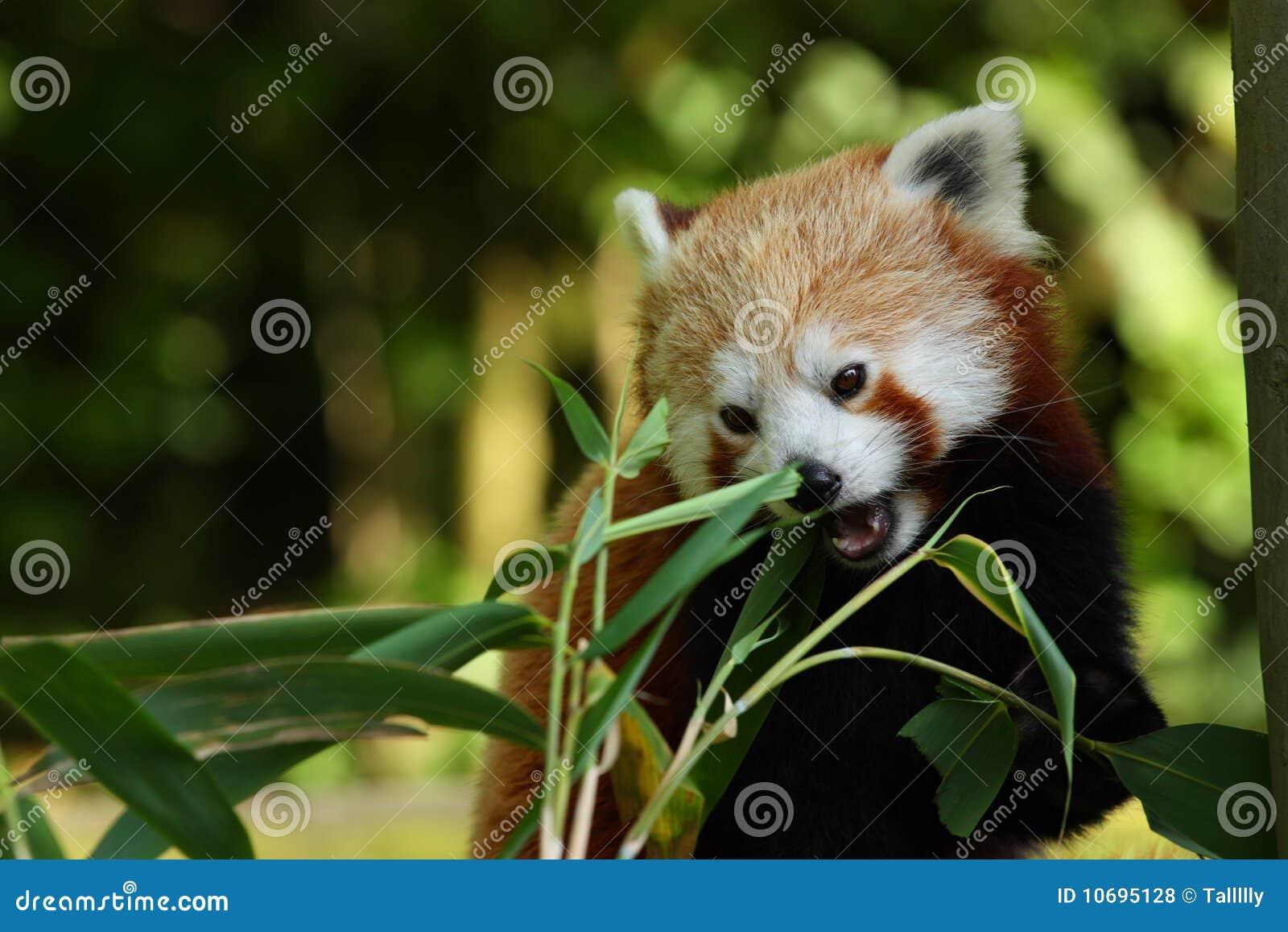 Panda bite - photo#44