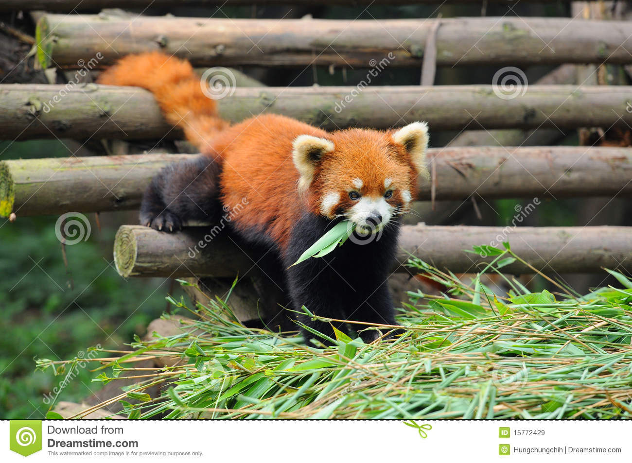 Red Panda Bear Eating Bamboo Leaves Royalty Free Stock ...