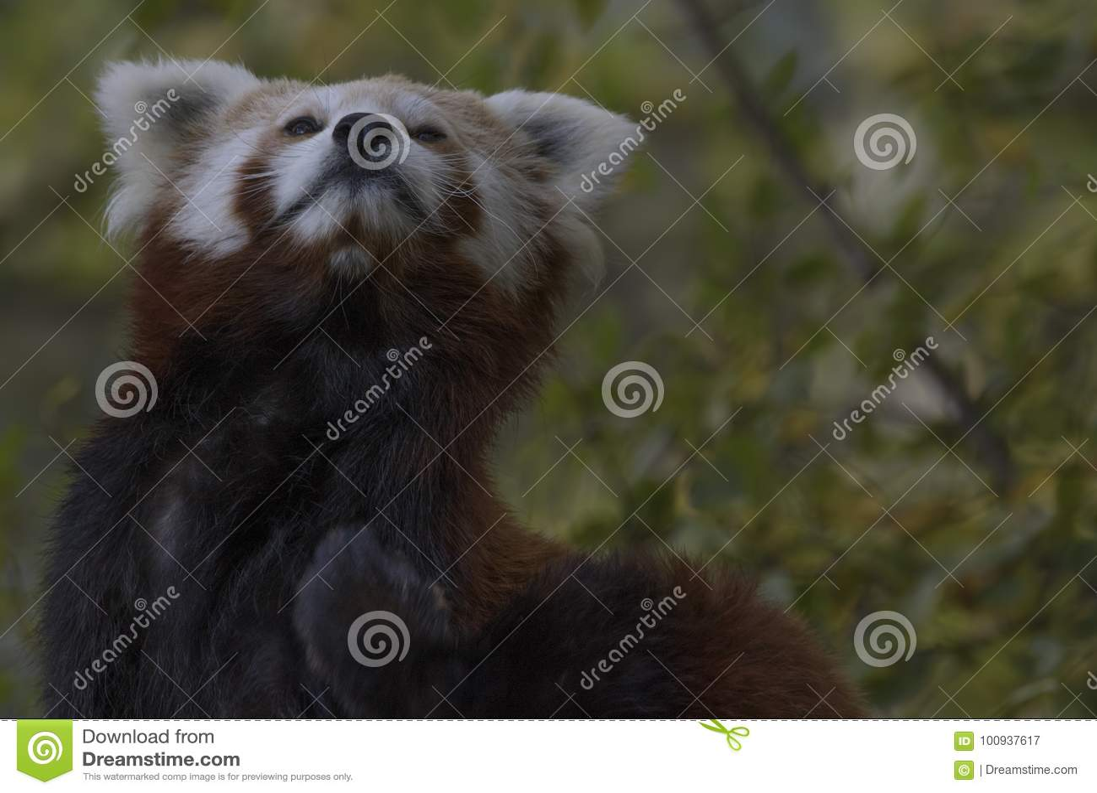 Red Panda Behaviour, Scratching, Yawning, Portrait Stock Image