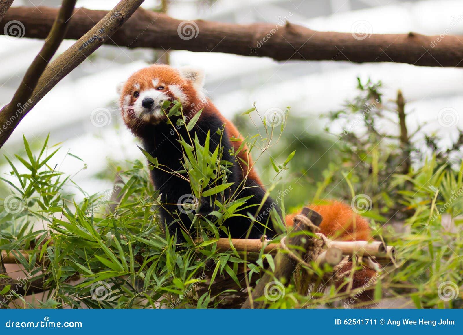 Red Panda Feeding Royalty-Free Stock Photo | CartoonDealer ...