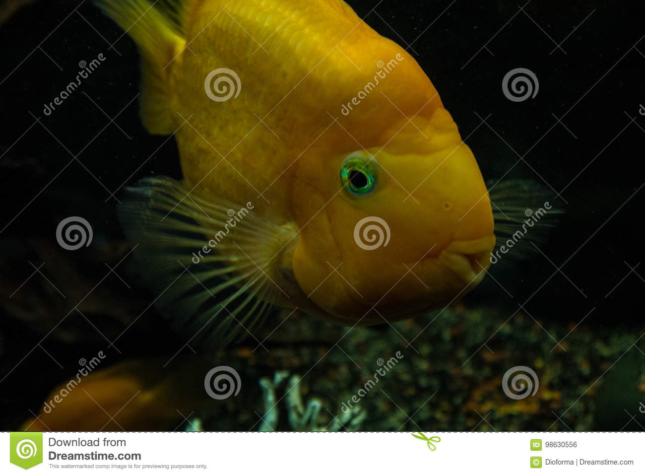 red parrot cichlid stock photo image of abstract goldfish 98630556