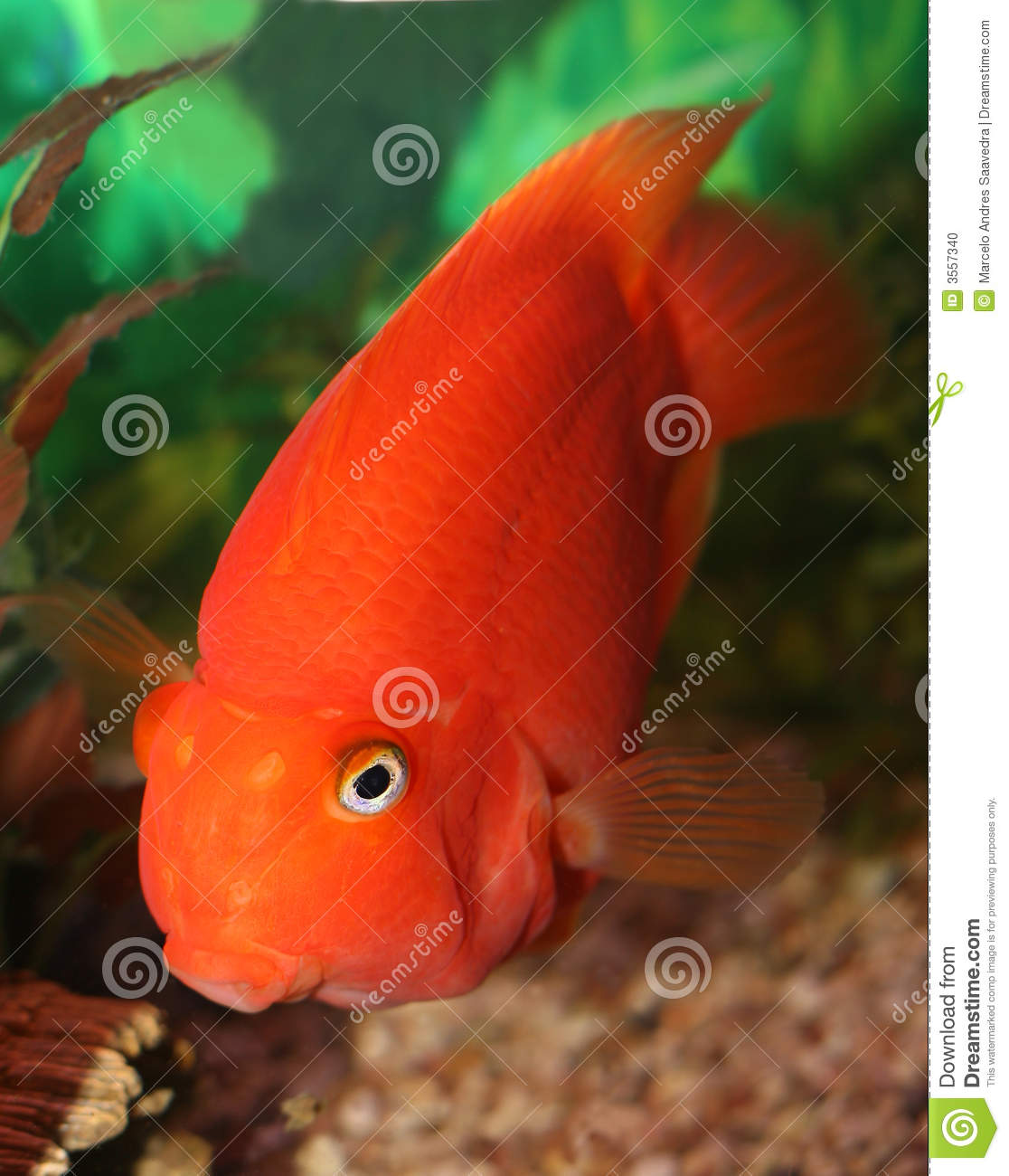 Red parrot fish stock photo image 3557340 for Red parrot fish