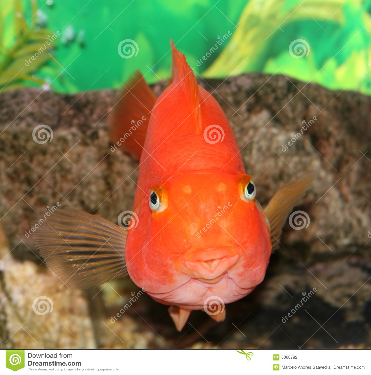 Red parrot fish stock photography image 6360782 for Parrot fish freshwater