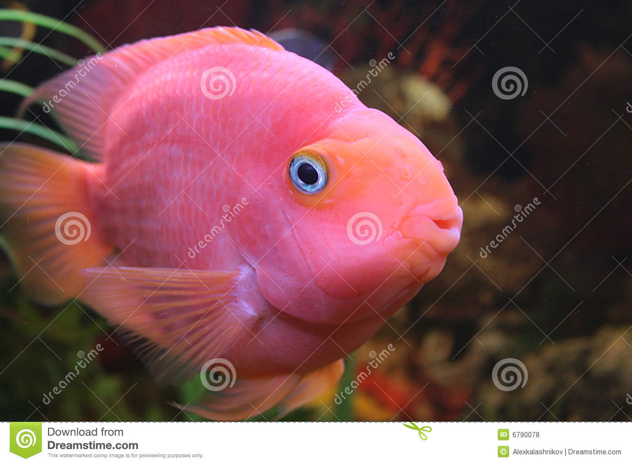 Red Parrot Fish Royalty Free Stock Photos - Image: 6790078