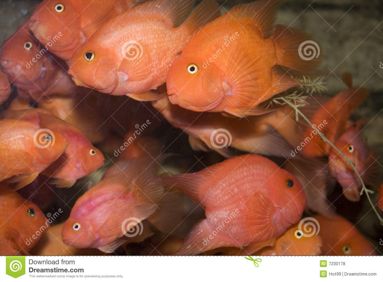 Red parrot fish royalty free stock photos image 7230178 for Red parrot fish