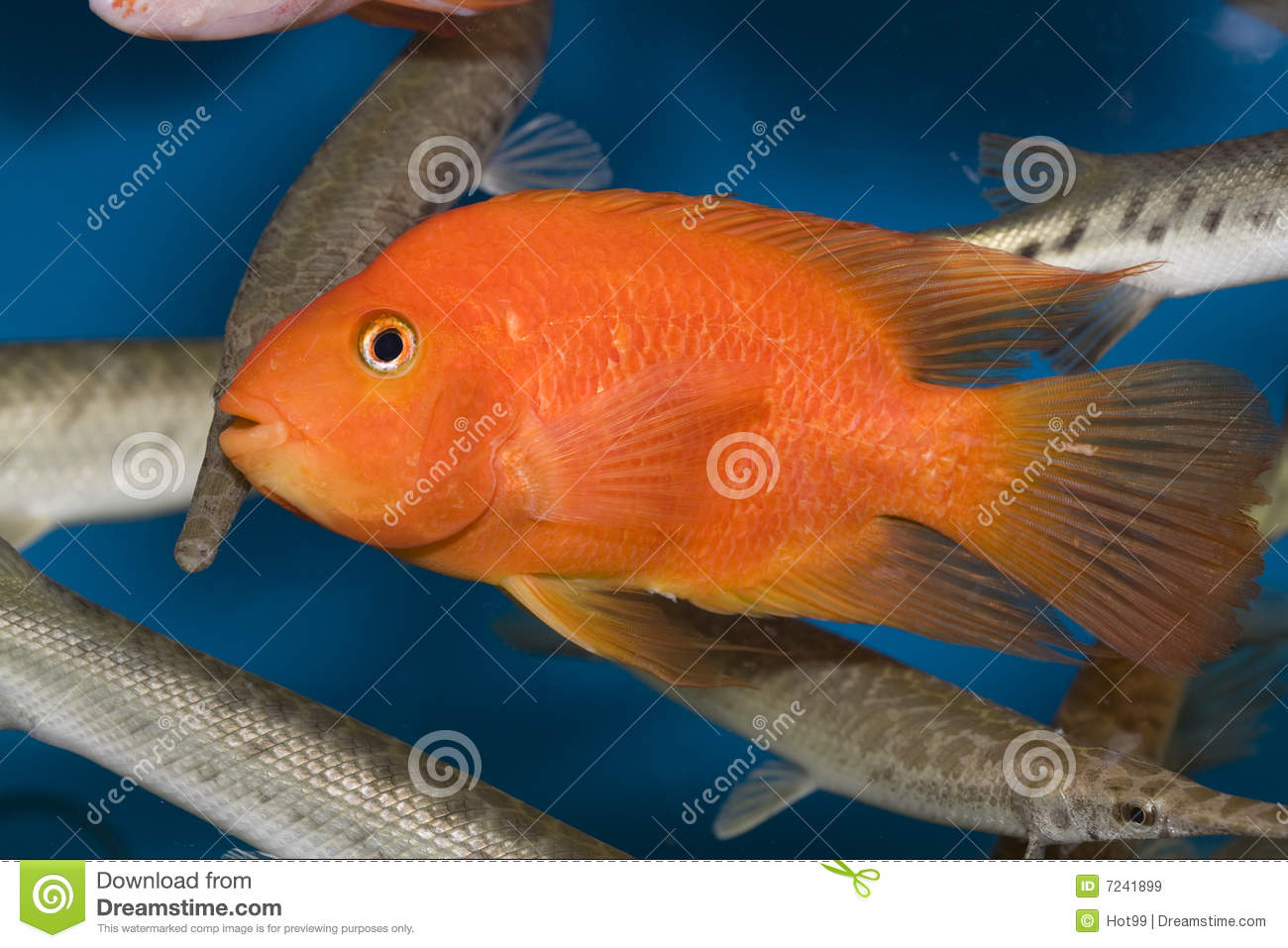 Red parrot fish royalty free stock images image 7241899 for Red parrot fish