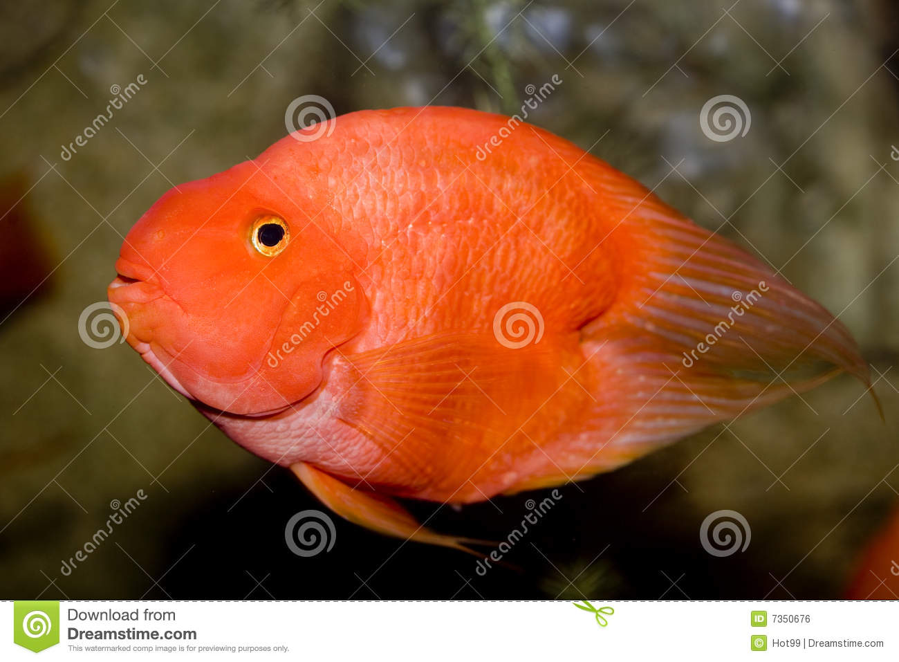Red parrot fish stock photo image of hobby bubble eyes for Parrot fish freshwater