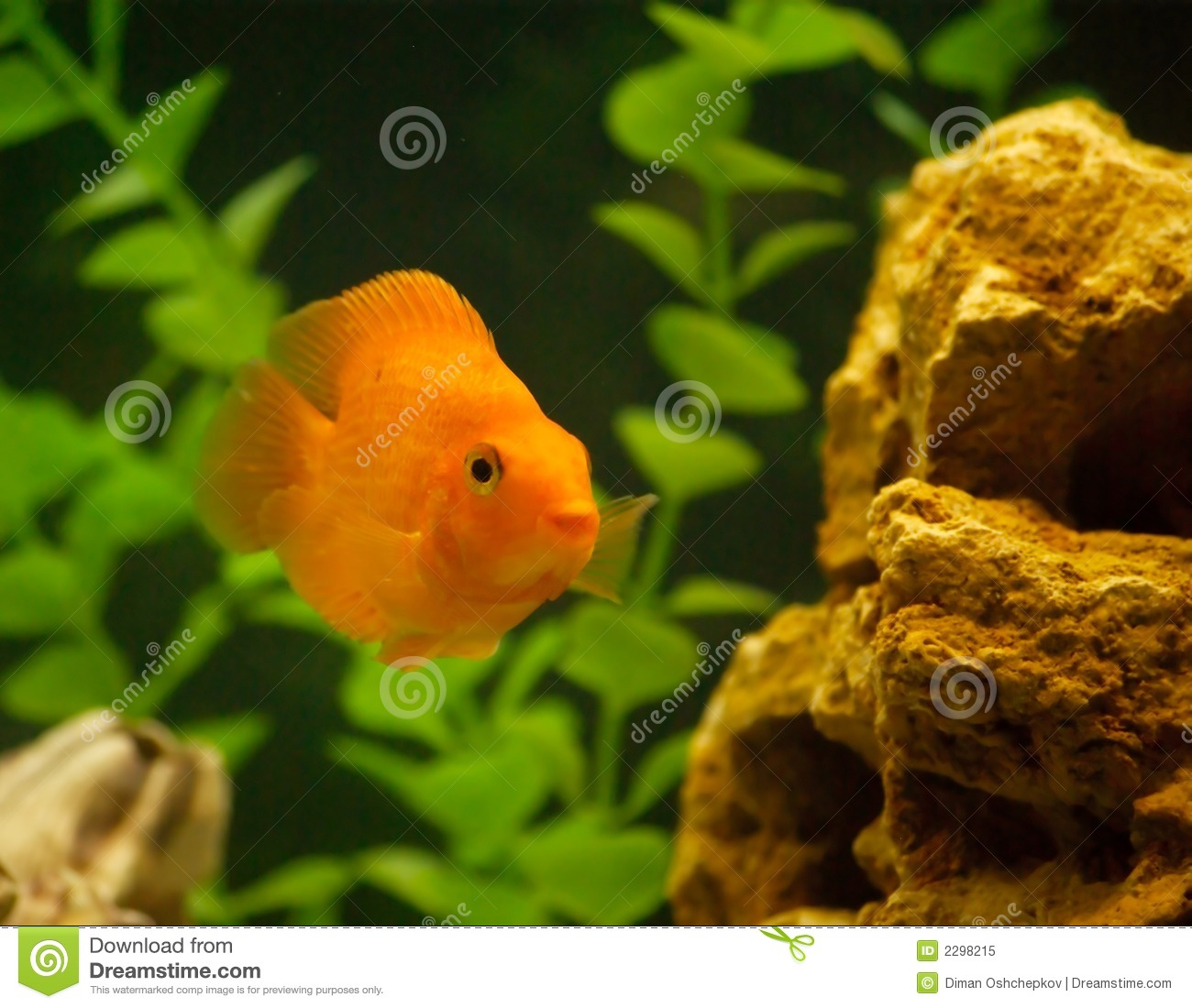 Red parrot fish in aquarium royalty free stock photo for Parrot fish freshwater