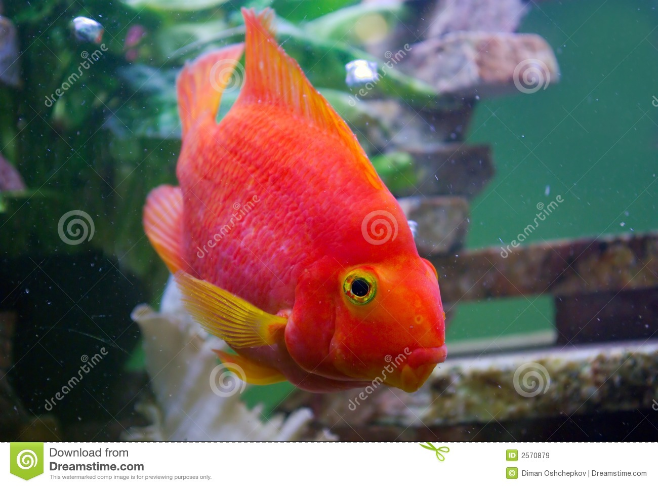 Yellow Discus Fish In Aquarium Stock Image - Image of under, spotted ...