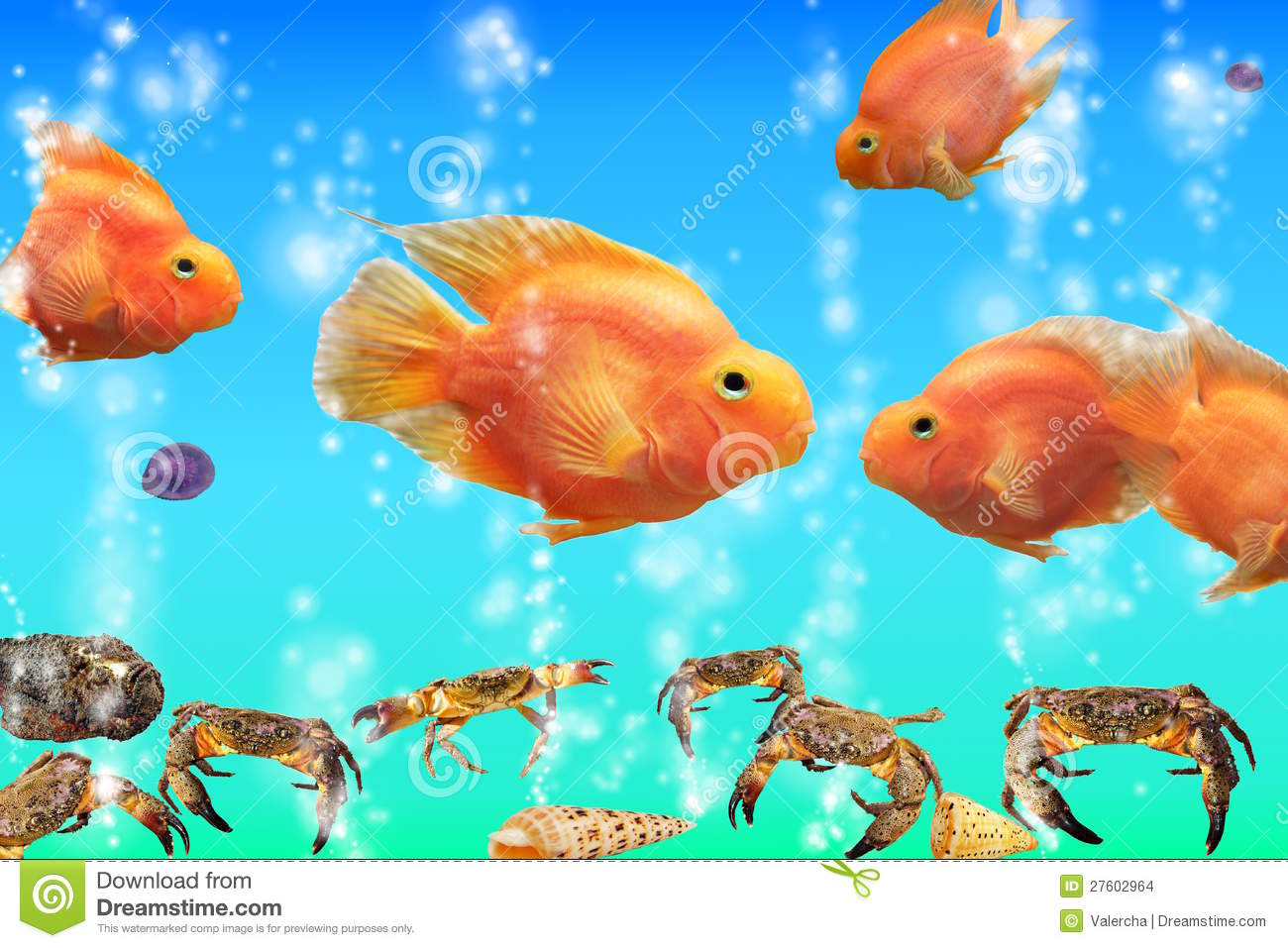 Red parrot fish in the aquarium cichlids from lak stock for Red parrot fish