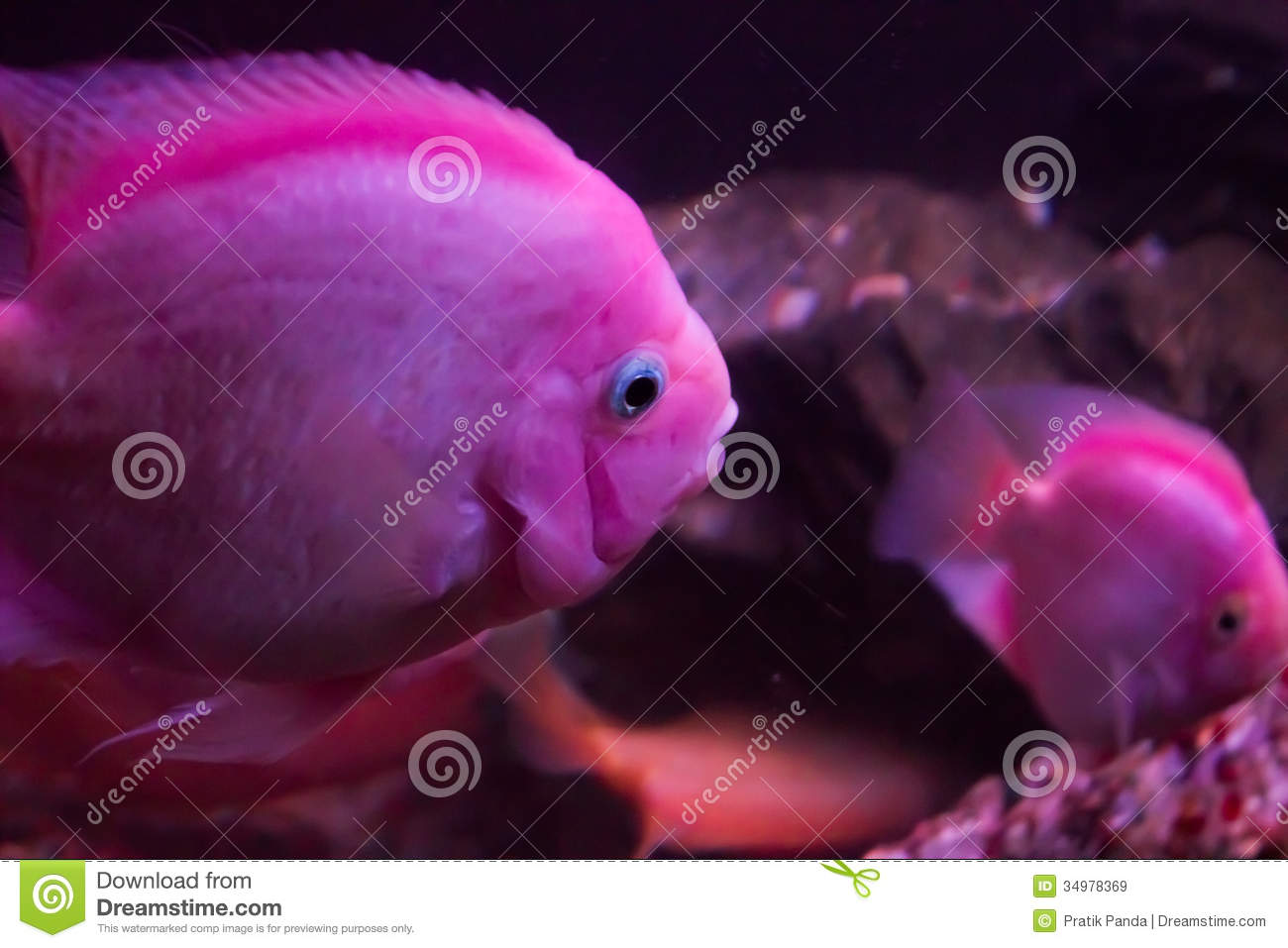 Red parrot fish underwater photography royalty free stock for Pink saltwater fish