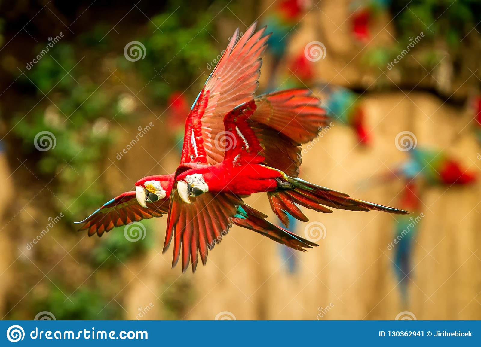 Red parrot in flight. Macaw flying, green vegetation in background. Red and green Macaw in tropical forest